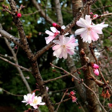 gosho-sakura-2.jpg