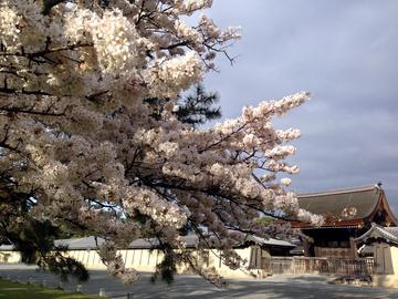 gosho-sakura-202003.jpeg