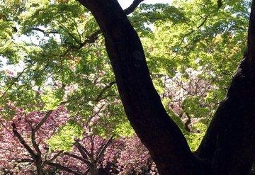 gosho-sakura-420.jpg