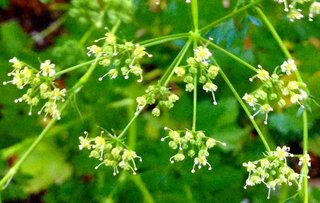 italian-parsley.jpg