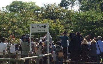 kamigamo-kurabeuma-2.jpg