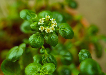 watercress-2020-05.jpg